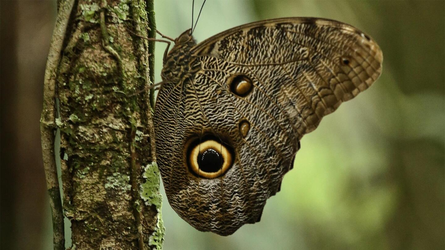 """An owl butterfly perches on a branch.   """"Nature: Undercover in the Jungle"""""""