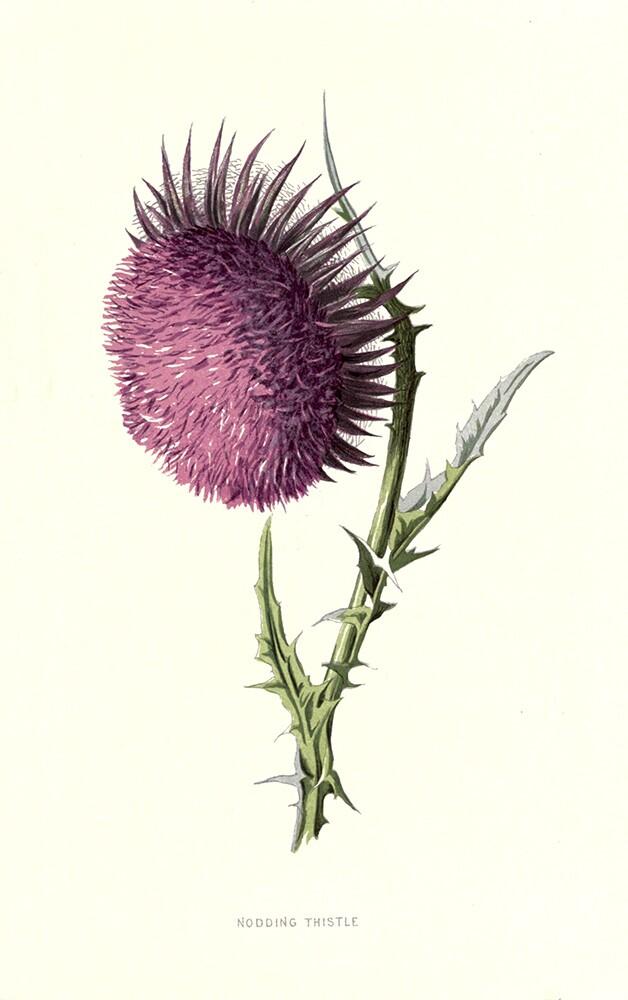Nodding Thistle | Biodiversity Heritage Library |  Familiar Garden Flowers (CC BY-NC-SA 2.0)