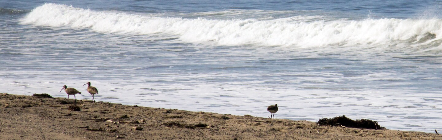 Shorebirds work the surfline at Santa Monica Beach : Photo: Jason Goldman