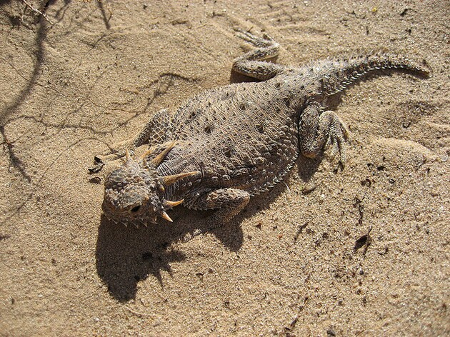 flat-tailed-horned-lizard-tenaska-3-11-15-thumb-630x472-89339