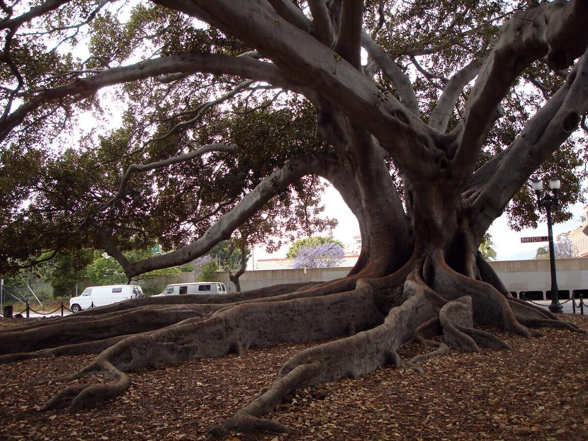 Moreton Bay Fig Tree | enfad/Flickr