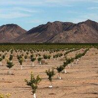 Lemon orchard in the Cadiz valley | Photo: Cadiz, Inc.