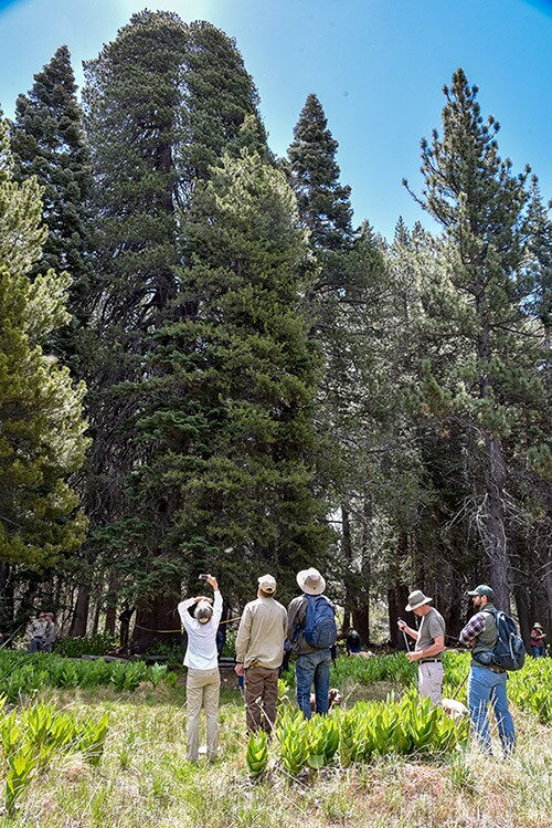 Measuring Champion Lodgpole Pine