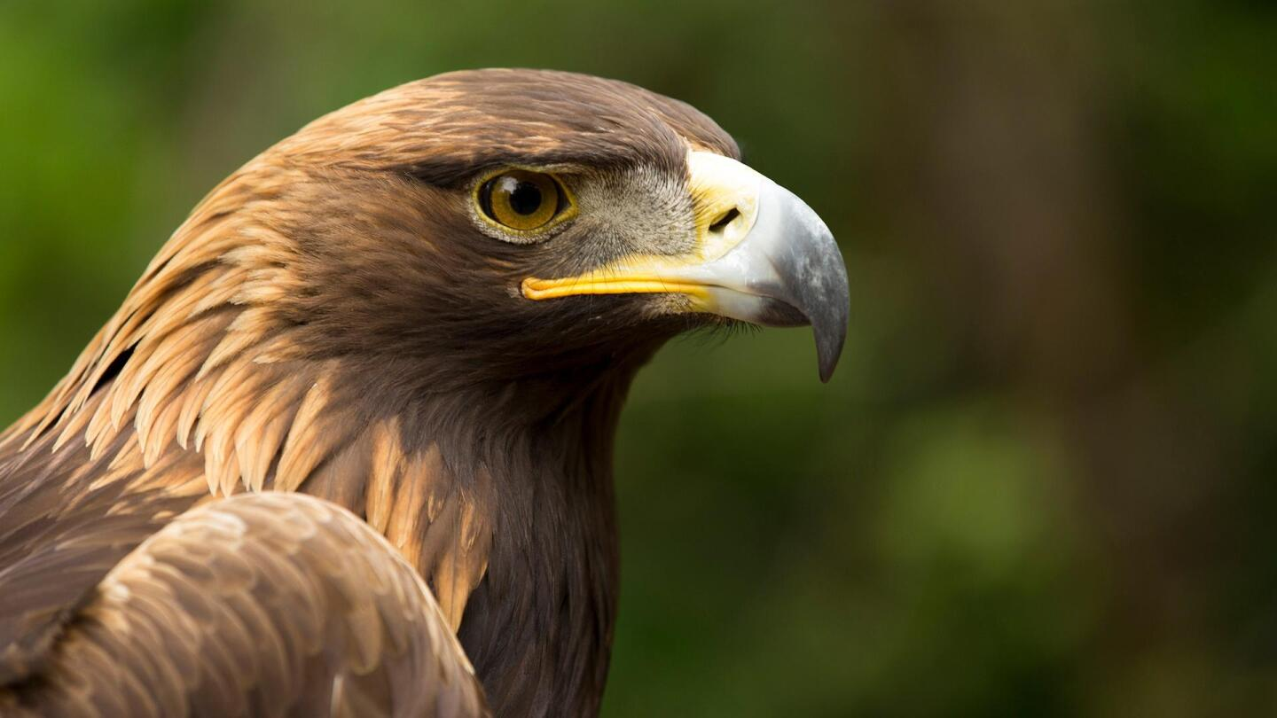 "A portrait of a golden brown-feathered eagle. | ""NOVA: Eagle Power"""