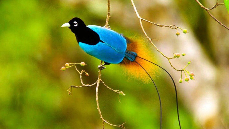 bird of paradise blue