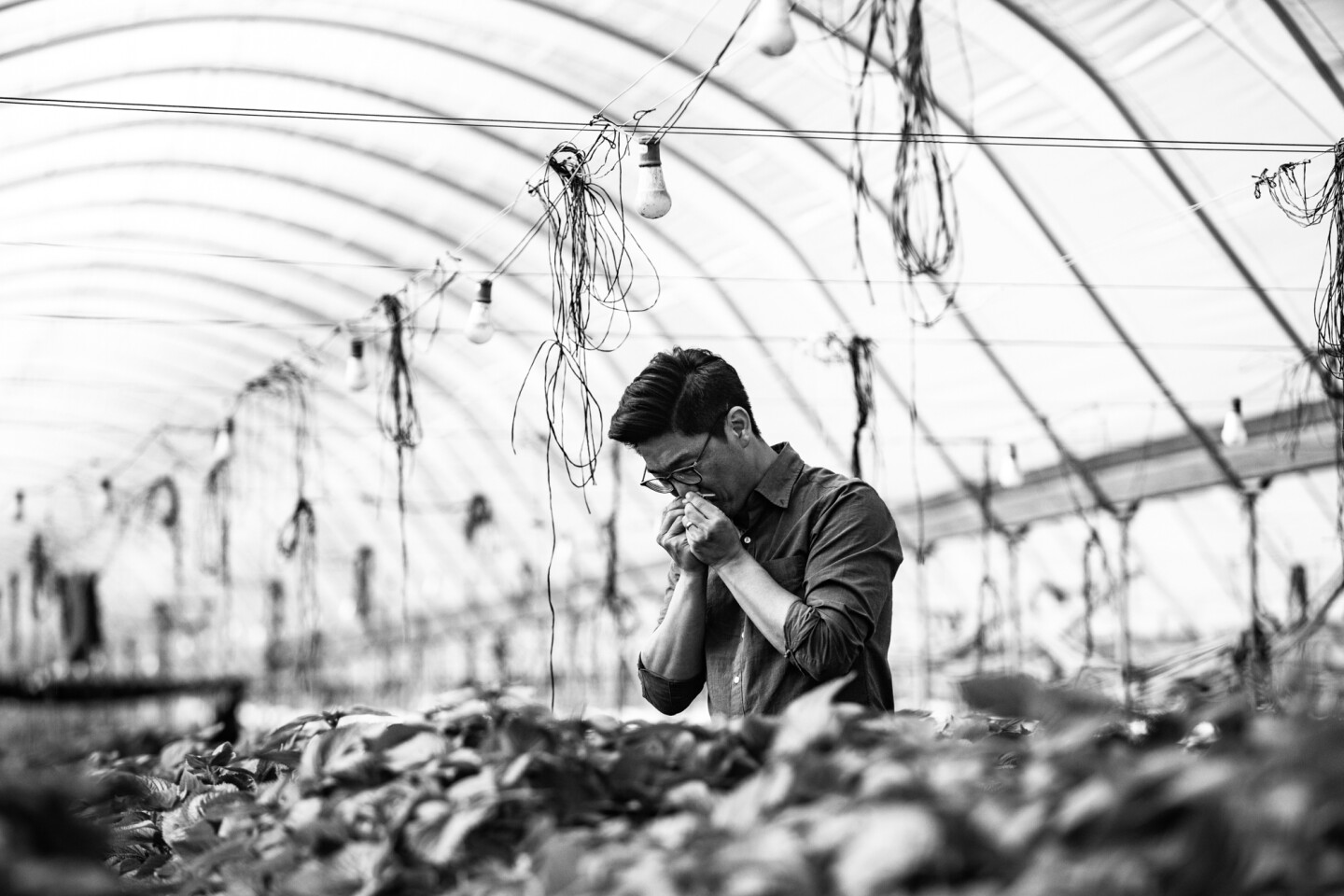 Aaron Choi smells a piece of perilla crop inside a greenhouse.