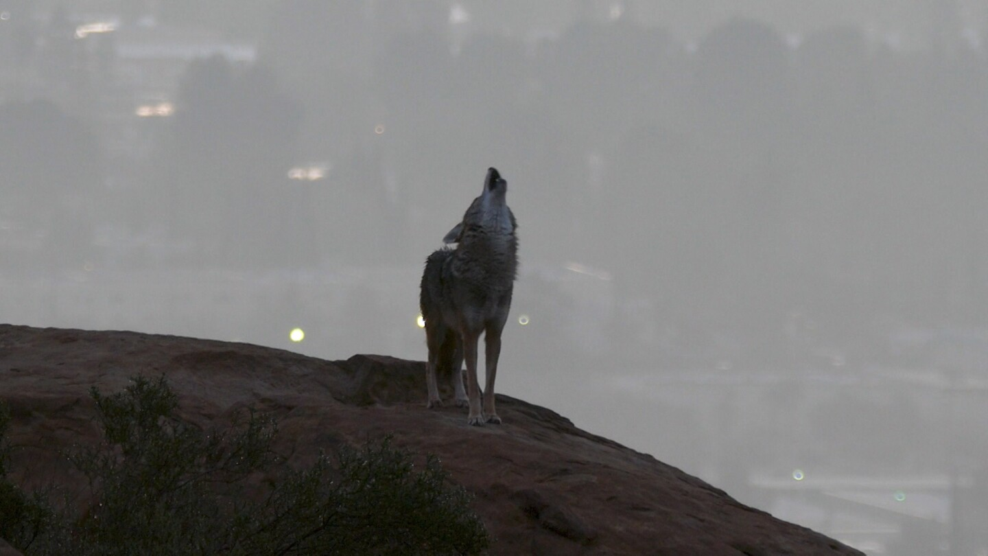 A coyote howling with city lights behind him. | Earth Focus