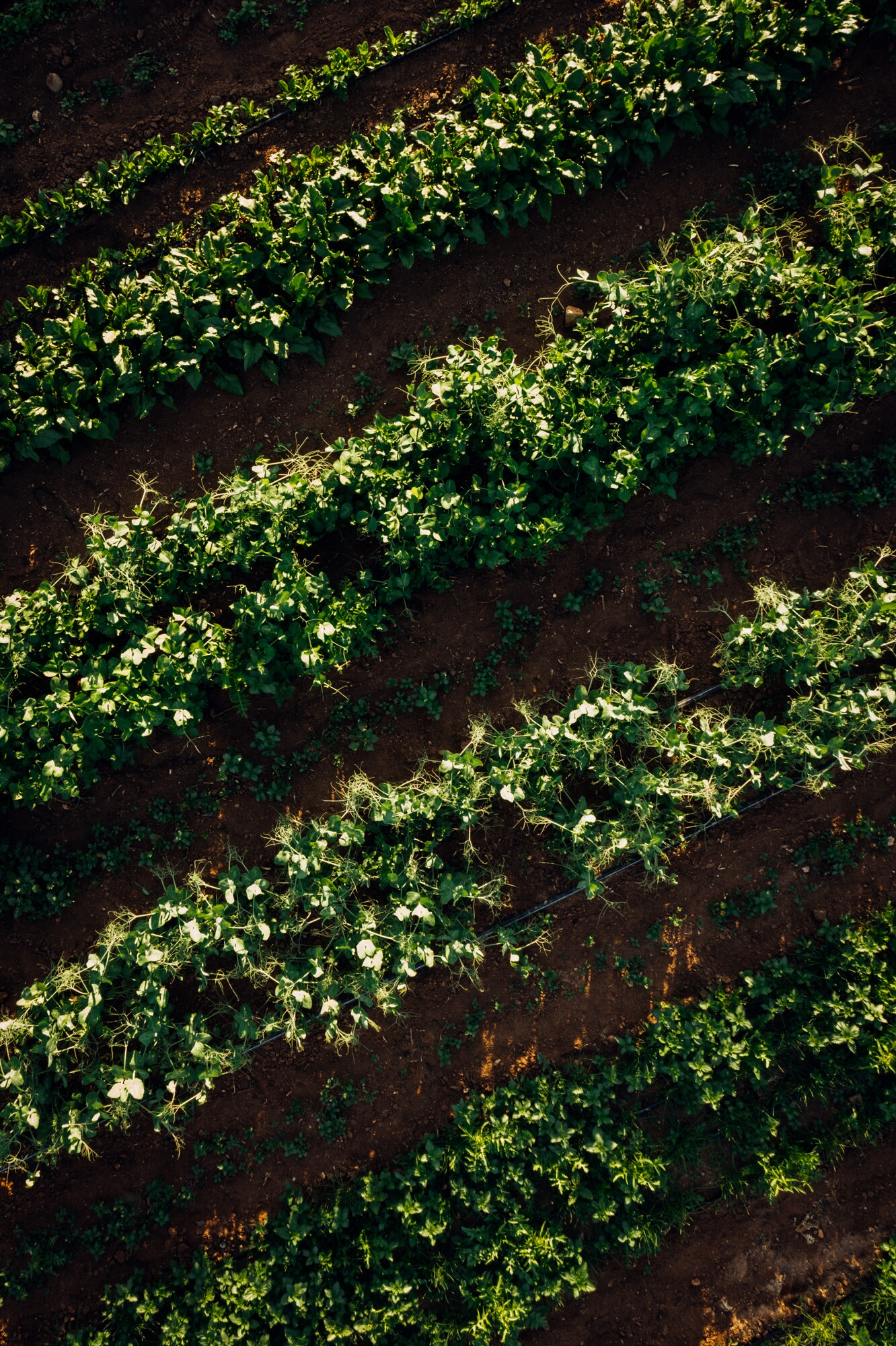 An aerial view of the rows of crops at Girl & Dug Farm.
