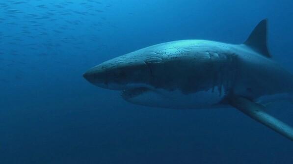 sharkKQED-thumb-597x334-29782