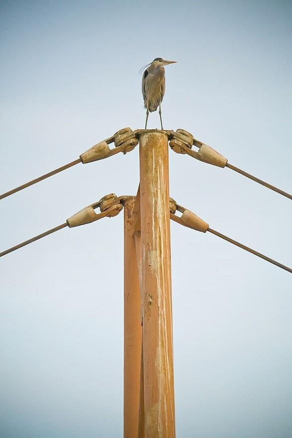 Great Blue Herons: LA River Birds