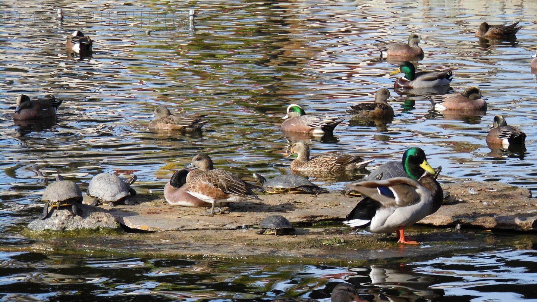 Many ducks call Pearson Pond their home.