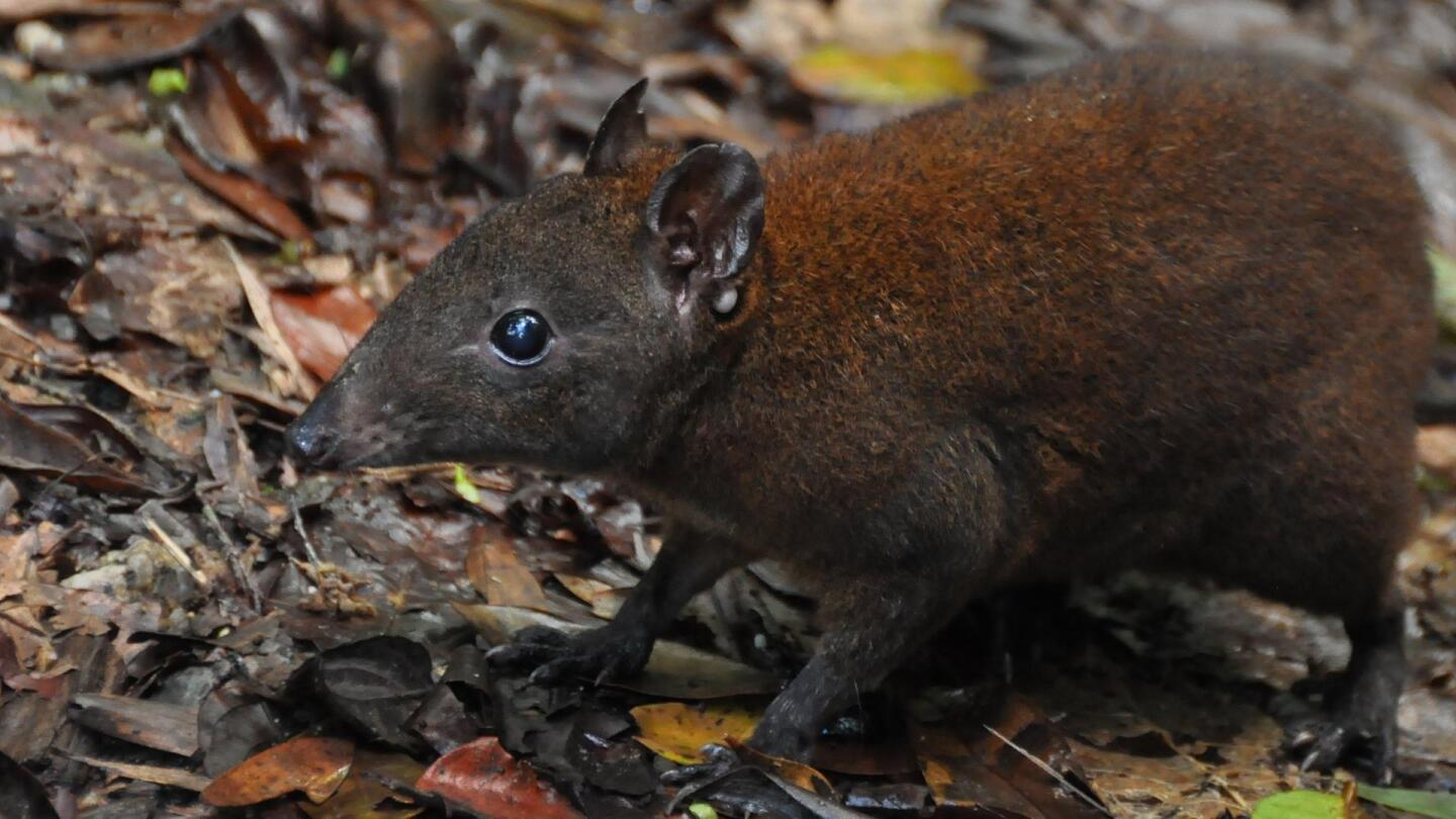 """A light-brown marsupial mouse. 