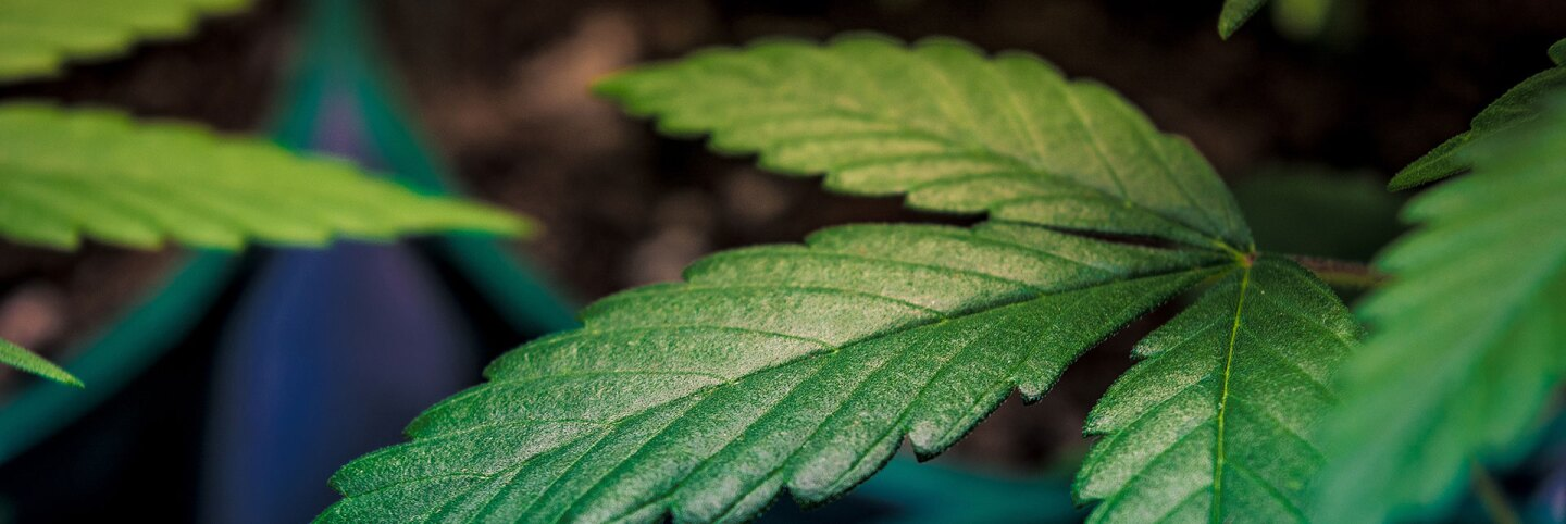 Cannabis plant | Esteban Lopez on Unsplash