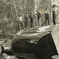 Loggers standing atop a massive, felled Redwood tree