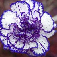 A white carnation with dark blue edges