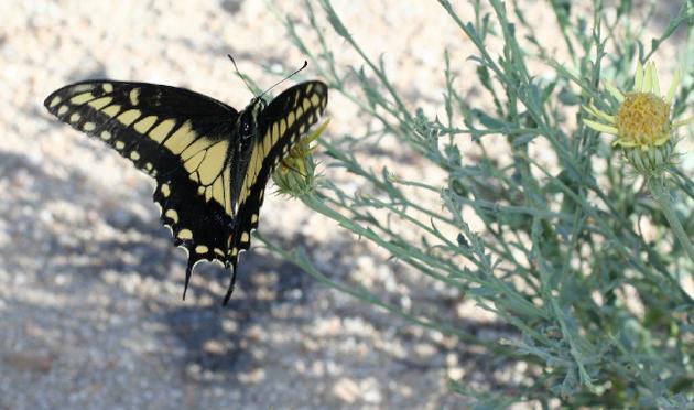 desert-swallowtail-3-23-15-thumb-630x372-89885