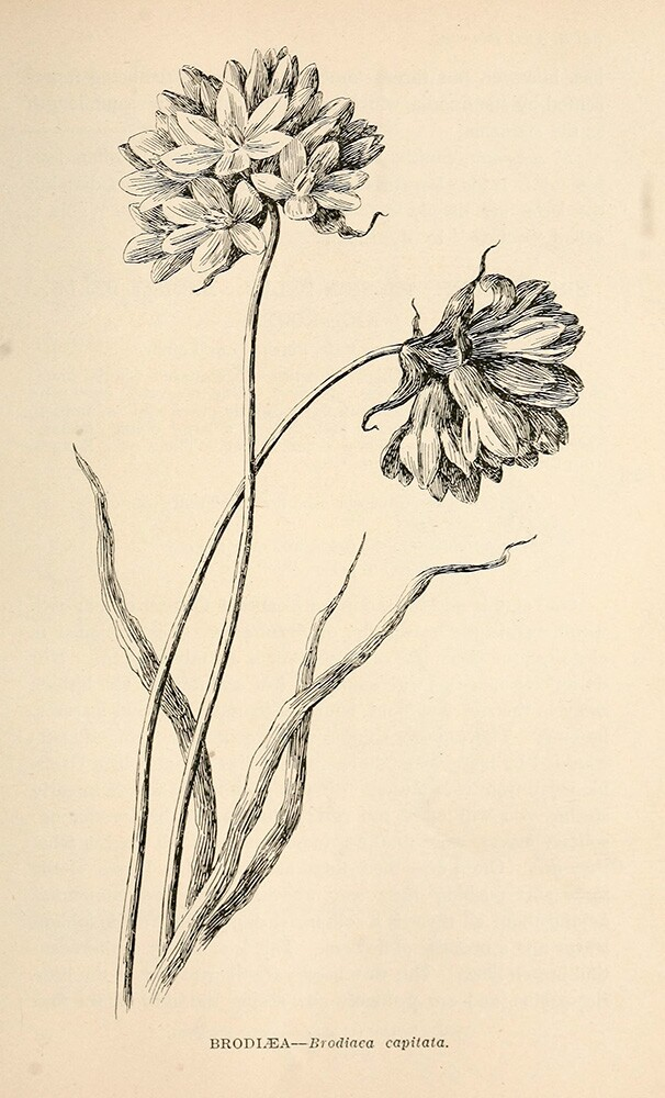 Brodiaea  | Biodiversity Heritage Library | Wildflowers of California, 1902, public domain