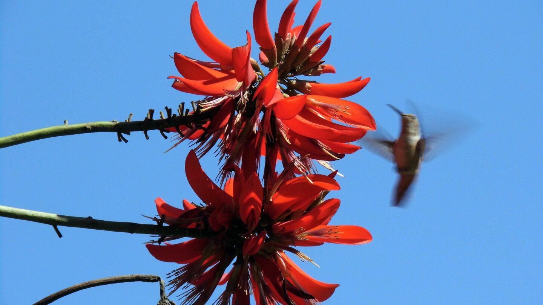 A hummingbird flies near a coral tree flower.   Sandi Hemmerlein