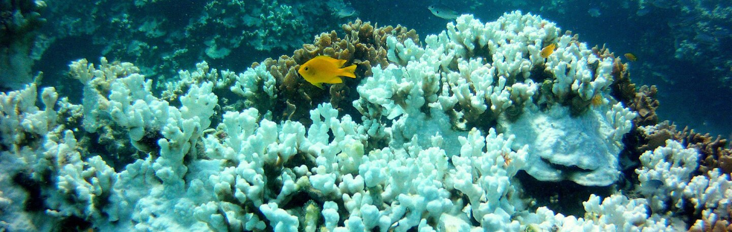 Coral bleaching in the Gulf of Thailand | Photo: EcoCafe Phuket, some rights reserved