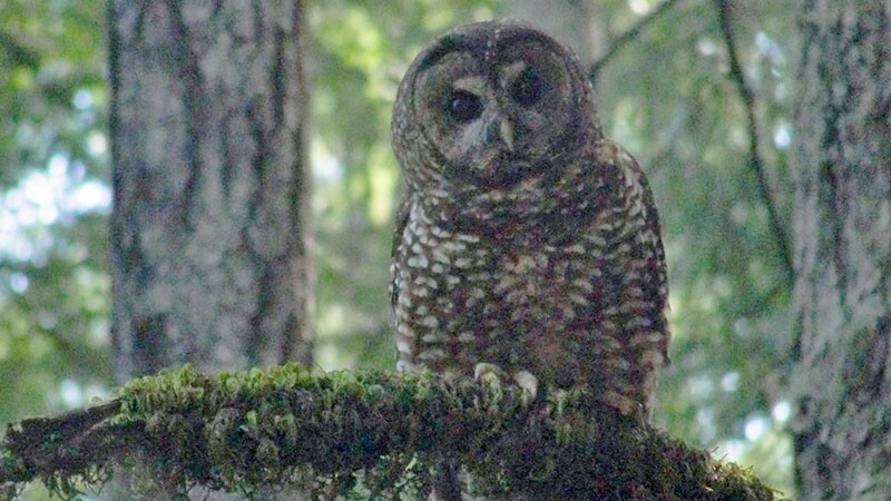 spotted-owl-10-6-16.jpg
