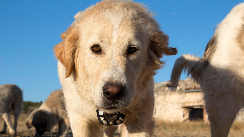 "A golden retriever dog.   ""Animals With Cameras, A Nature Miniseries: Episode 3"""