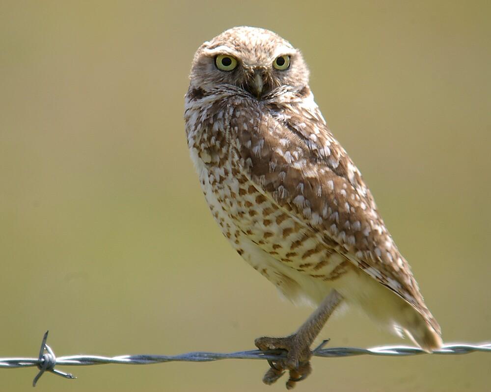 Burrowing owl at CPNM   Photo: Bob Wick/BLM