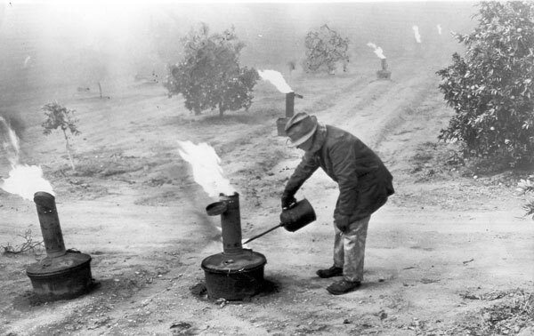 A Covina citrus worker lights smudge pots in an orange grove. Courtesy of the David Boulé Collection.