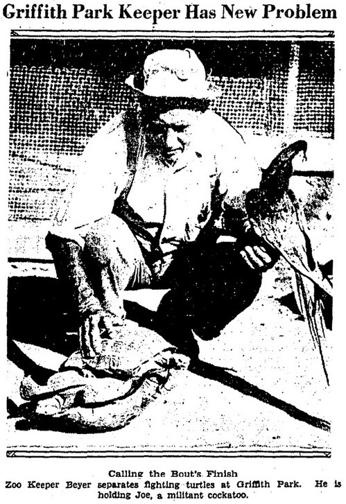 'Battling Turtles Enliven Zoo' | Los Angeles Times, July 6, 1931