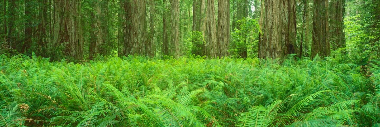 redwoods primary