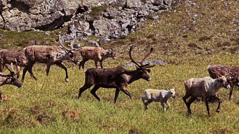 Caribou walking in a field.