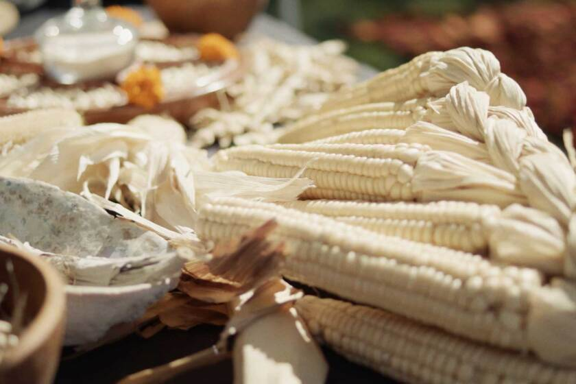 """Seneca white corn grown at the Cultural Conservancy. 