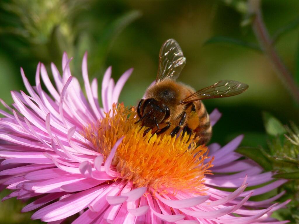 honeybee-8-21-16.jpg