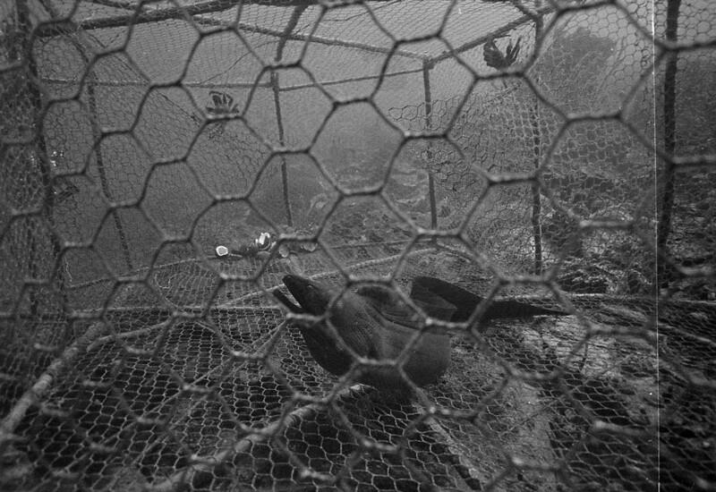 Moray Eel in a fish trap in 1973 | Photo: courtesy Phil Dustan
