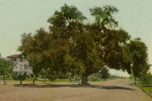 A coast live oak stands in the middle of Pasadena's Orange Grove Avenue. Courtesy of the Security Pacific National Bank Collection - Los Angeles Public Library.