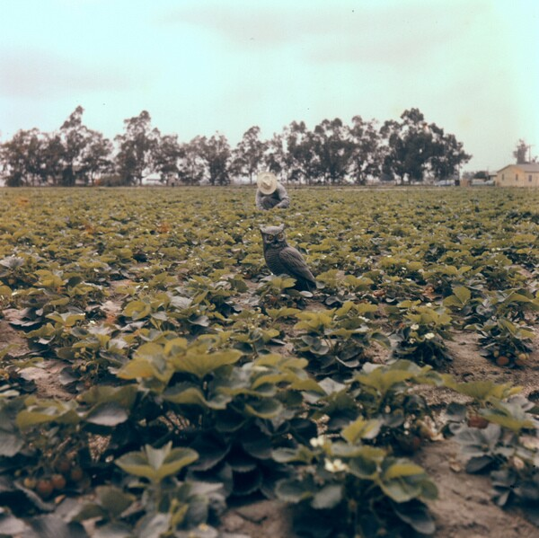 An Orange County strawberry field, circa 1950s. Photo courtesy of the Orange County Archives.