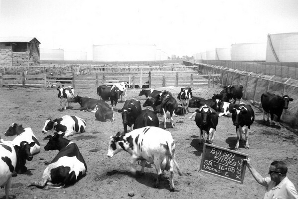 The city of Cypress first incorporated as Dairy City. Here, a county roads worker stands with dairy cows on a Cypress farm in 1969. Photo courtesy of the Orange County Archives.