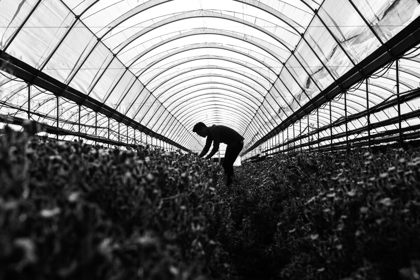 Aaron Choi stands in a greenhouse, tending to a large row of crops.