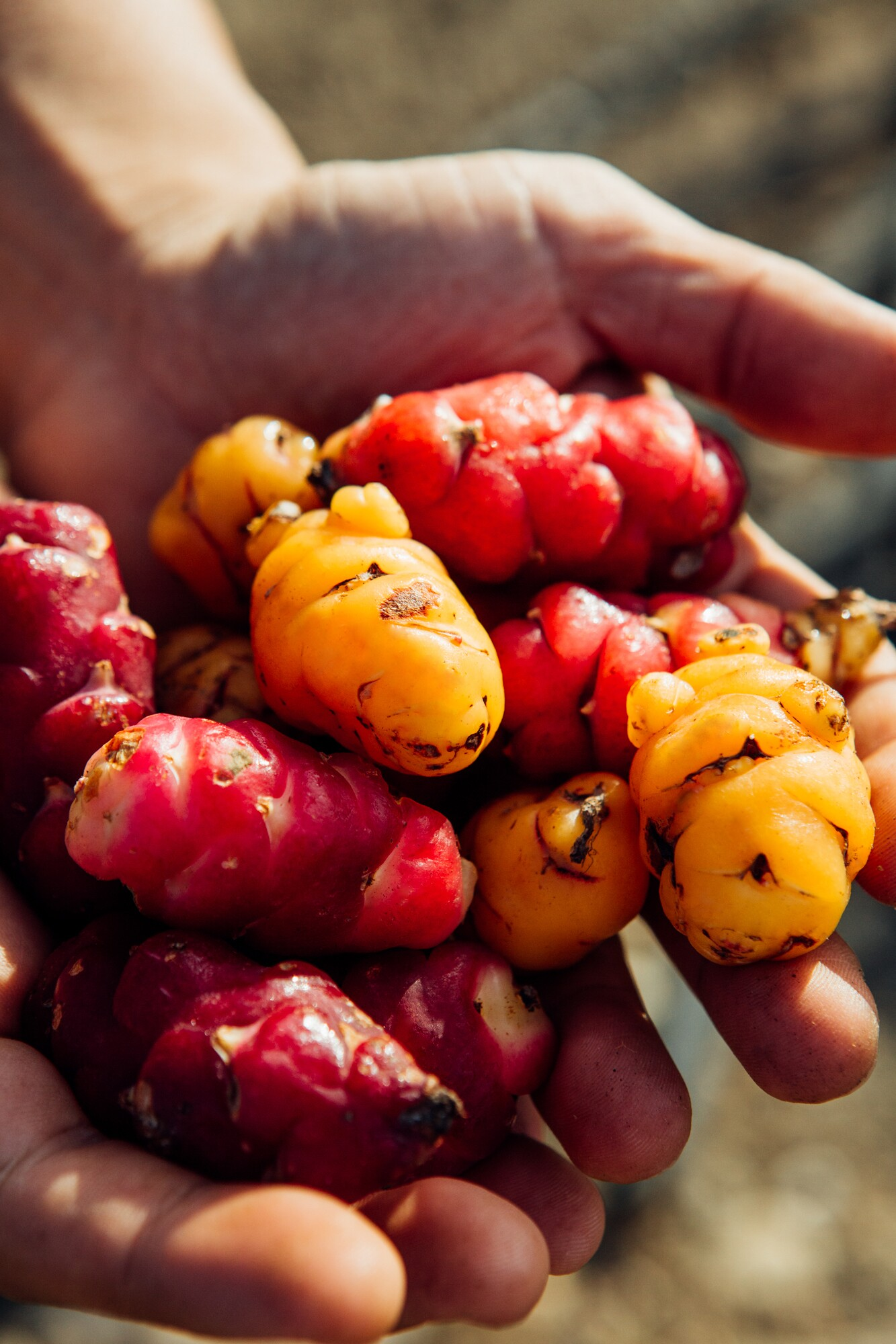 Aaron Choi holds a batch of red and yellow oca vegetables.