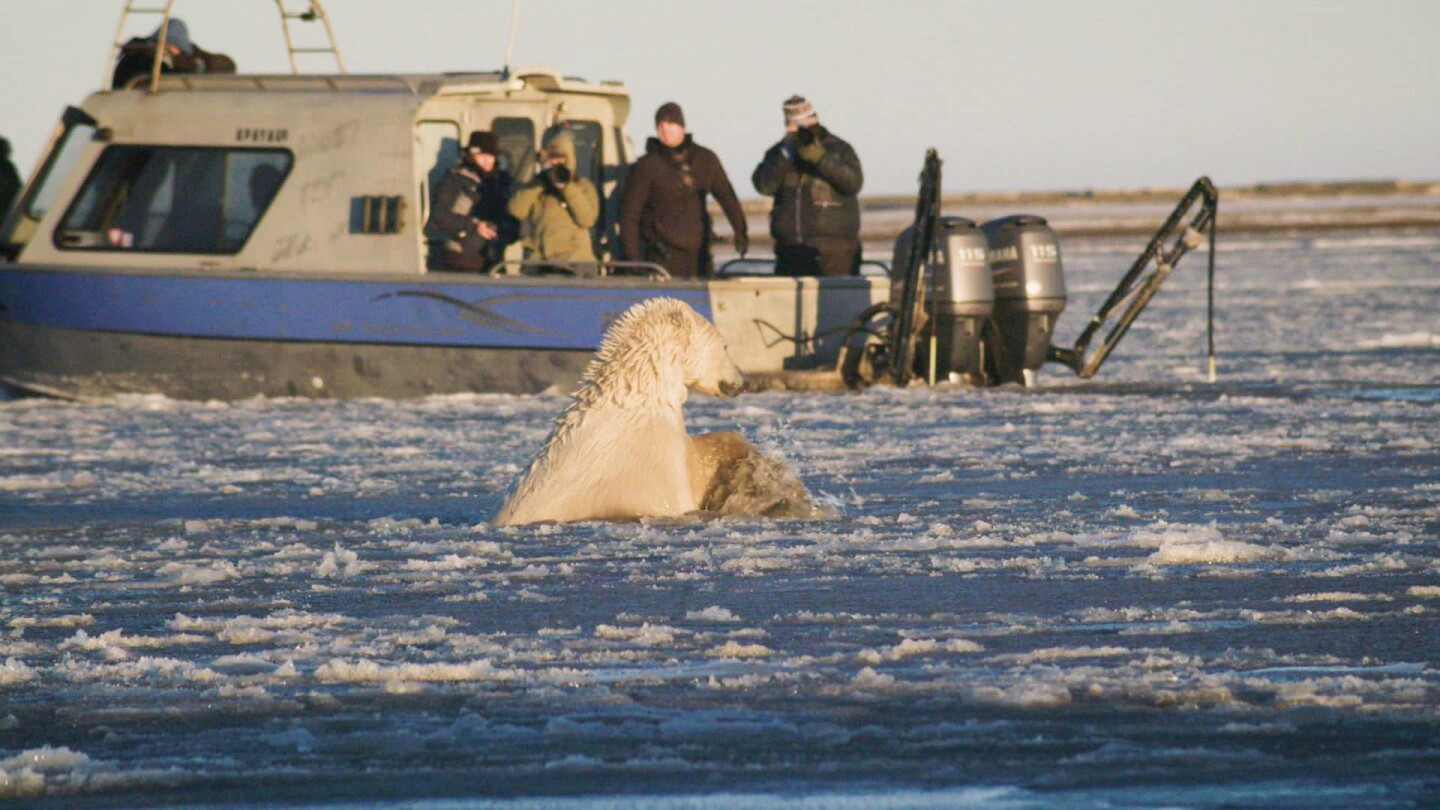 A polar bear swimming in front of a tourist boat in Alaska. | Still from Earth Focus