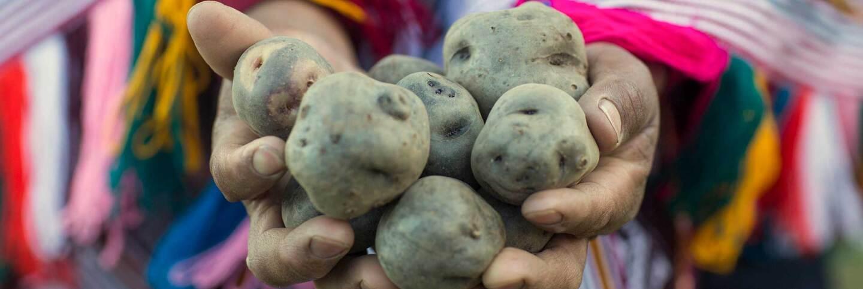 A farmer holds a handful of potatoes at El Parque de la Papa in Peru.   International Potato Center (CIP) / CC BY-NC 2.0