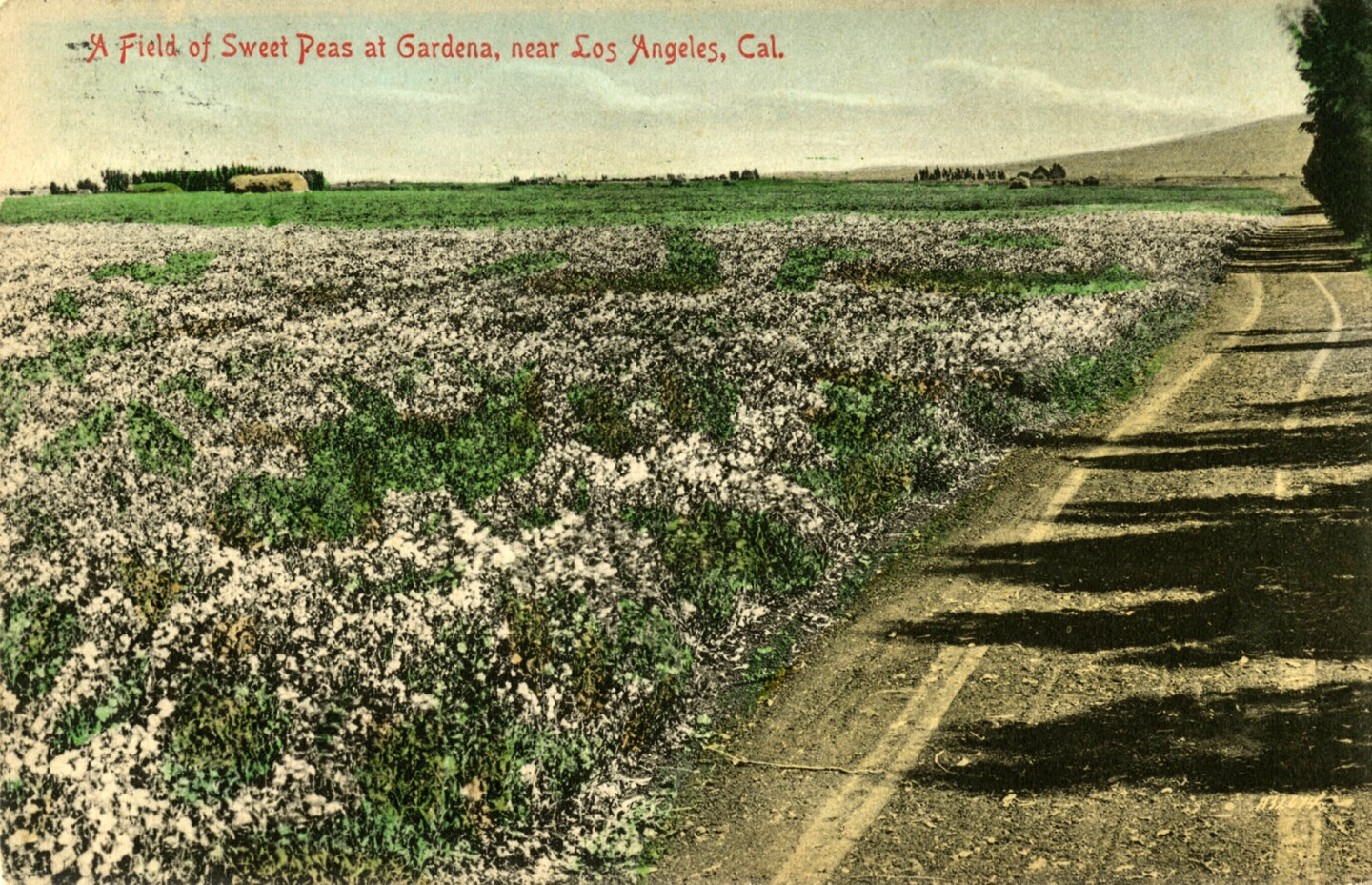 A field of sweet peas in Gardena. Courtesy of the CSUDH Archives.