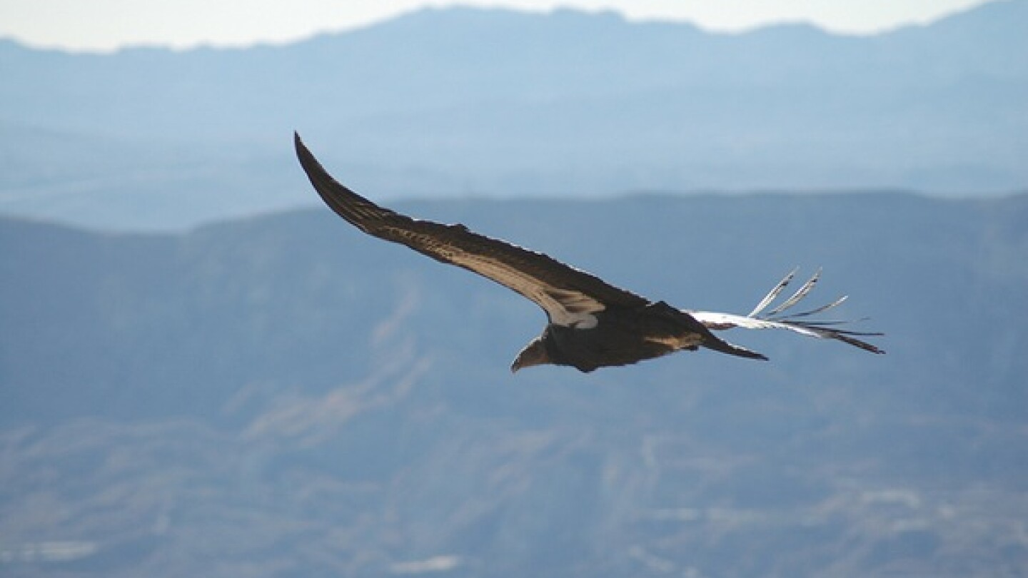 California condor #412 soars above the Los Padres National Forest | Photo by Pacific Southwest Region U.S. Fish and Wildlife Service via Creative Commons