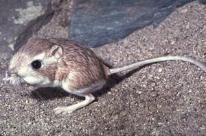 The Kangaroo Rat   Photo © Dr. Lloyd Glenn Ingles, California Academy of Sciences