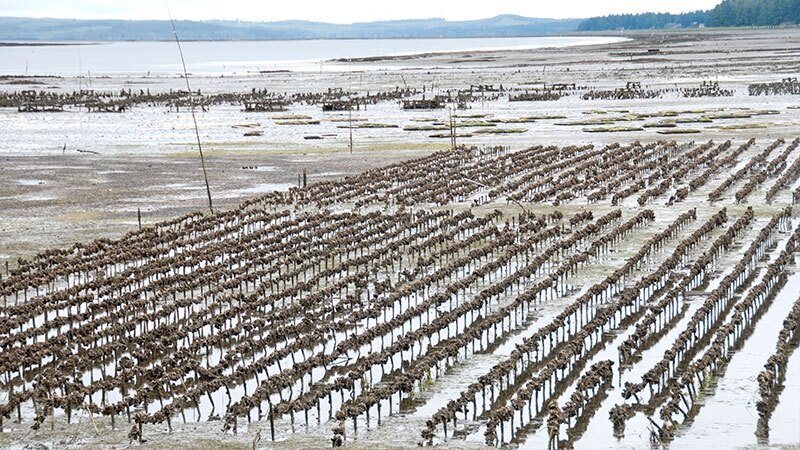 Oyster farms like this one in Washington State may have more trouble growing young oysters as ocean acidification continues. | Photo: iStock/PhilAugustavo