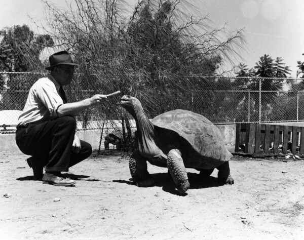 Giant Tortoise at L.A. Zoo | Photo: Ralph Morris Collection, Los Angeles Public Library