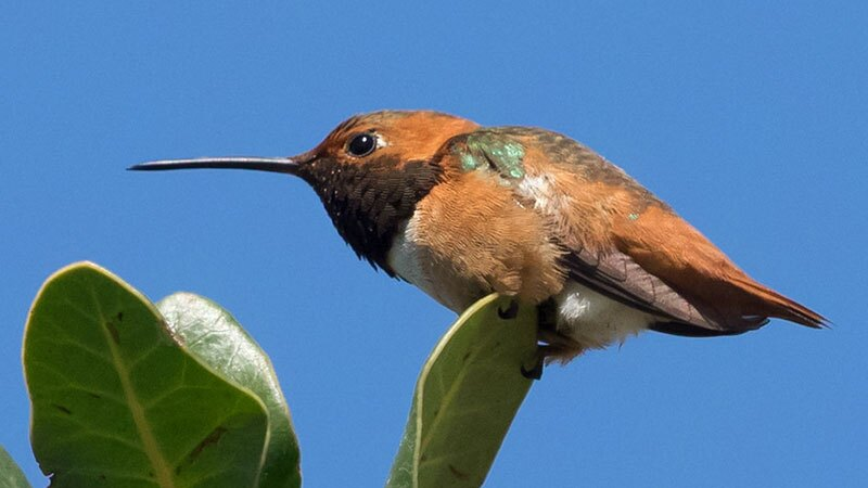 Allen's hummingbird | Photo: Ingrid Taylar, some rights reserved