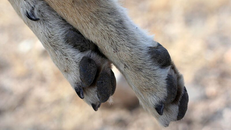 Feet of a dead coyote in Nevada