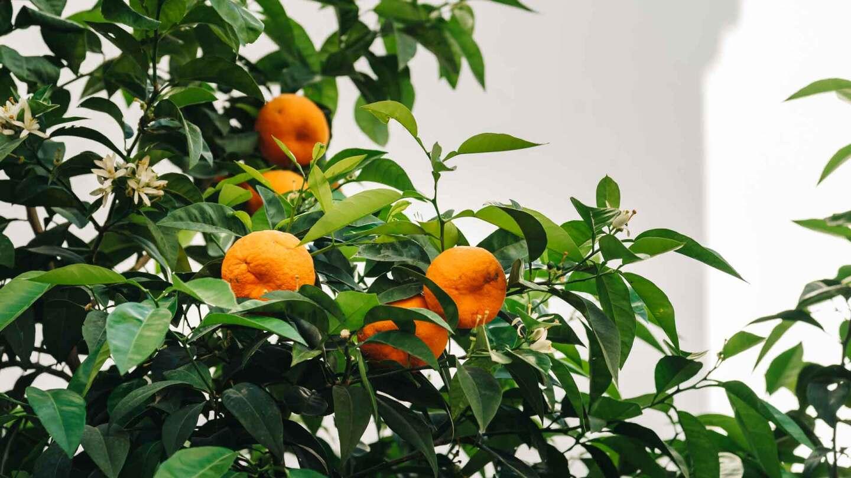 Urban orange tree against white wall. (featured) | iStock/JJFarquitectos