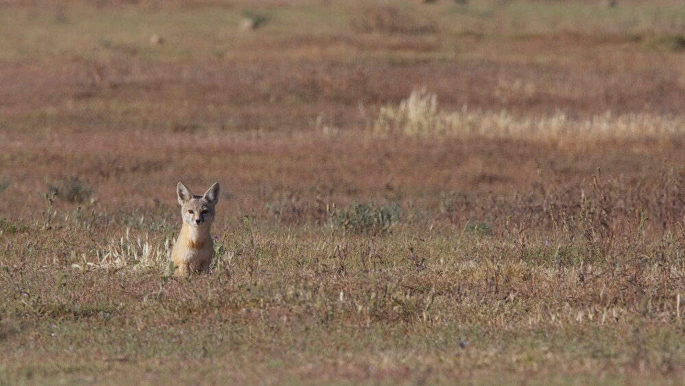 """A San Joaquin Kit Fox in the Carrizo Plain   Photo: Gregory """"Slobirdr"""" Smith, some rights reserved"""