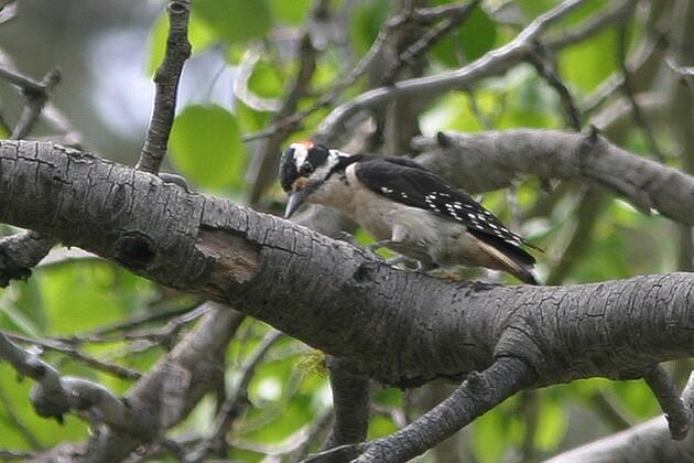 hairy-woodpecker-10-14-15-thumb-630x420-98180